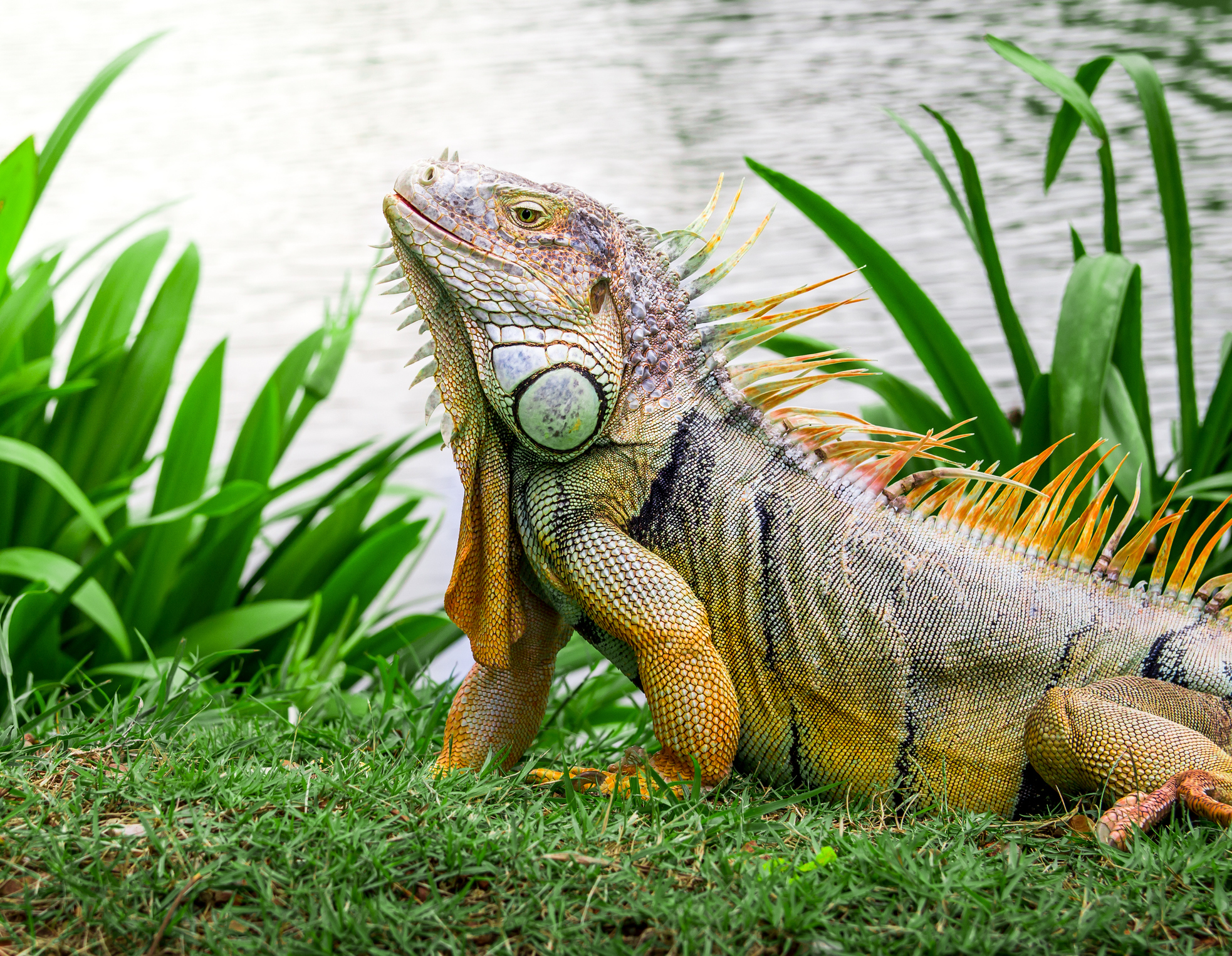 Wanna get rid of an iguana? On second thought, don't just 'shoot them up,' Florida says
