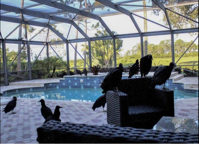 Hitchcock-like horror at Ibis: Black vultures are taking over